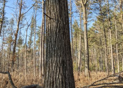American Chestnut Trees Standing 10