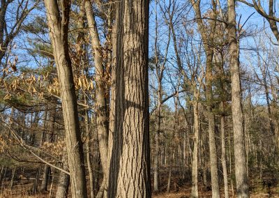 American Chestnut Trees Standing 11