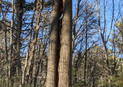 American Chestnut Trees Standing 12